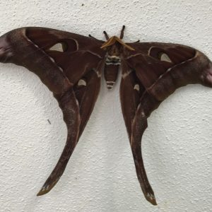 Hercules Moth