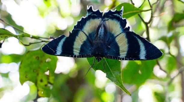Zodiac Moth