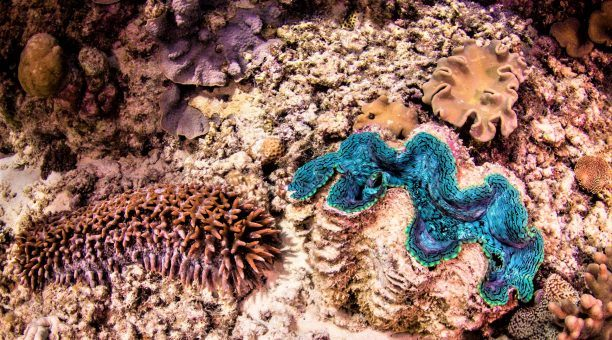 Sea Cucumber and Giant Clam