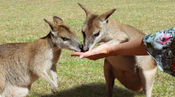 Wallabies at Rainforestion Wildlife Park